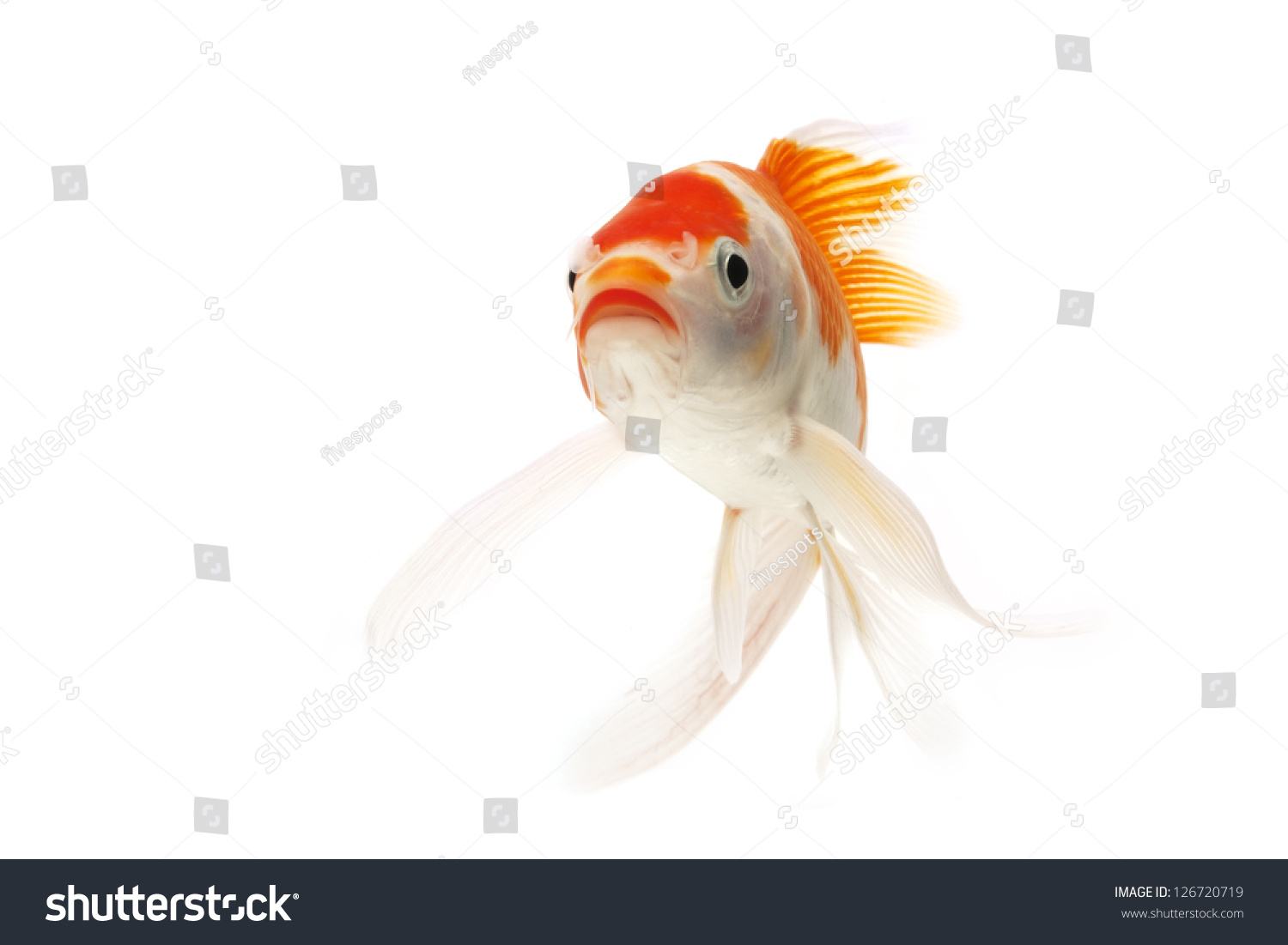 Red white koi fish isolated on stock photo 126720719 for Red and white koi fish