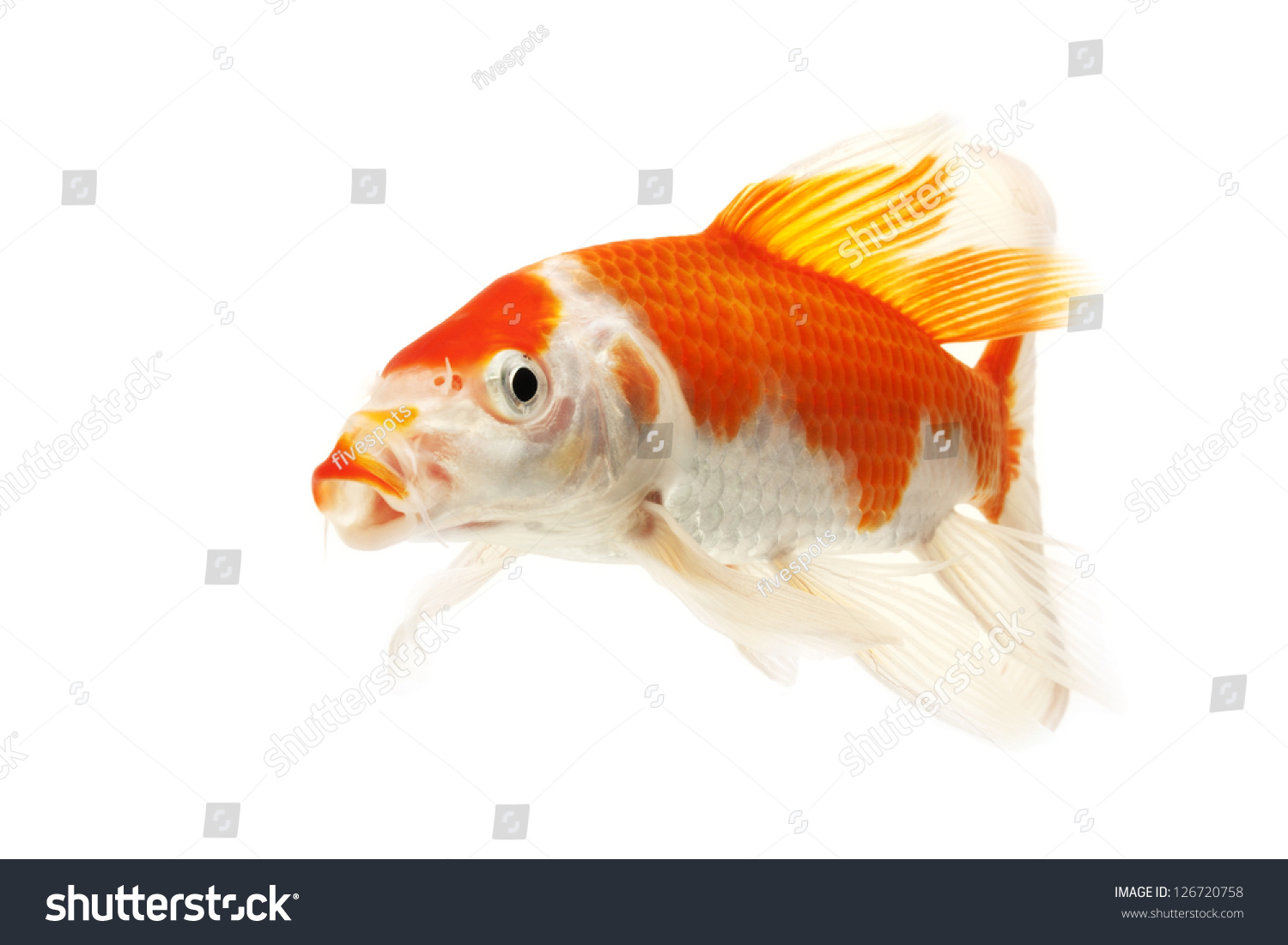 Red white koi fish isolated on stock photo 126720758 for Red and white koi fish