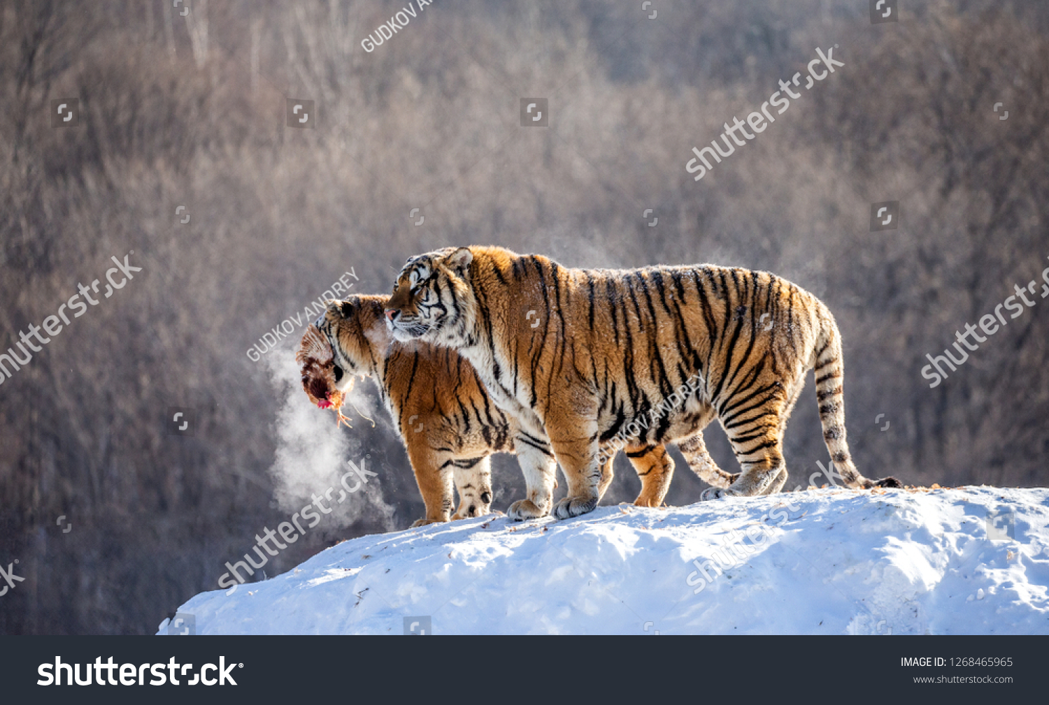 Two Siberian tigers stand on a snow-covered hill and catch prey. China. Harbin. Mudanjiang province. Hengdaohezi park. Siberian Tiger Park. Winter. Hard frost. (Panthera tgris altaica) #1268465965