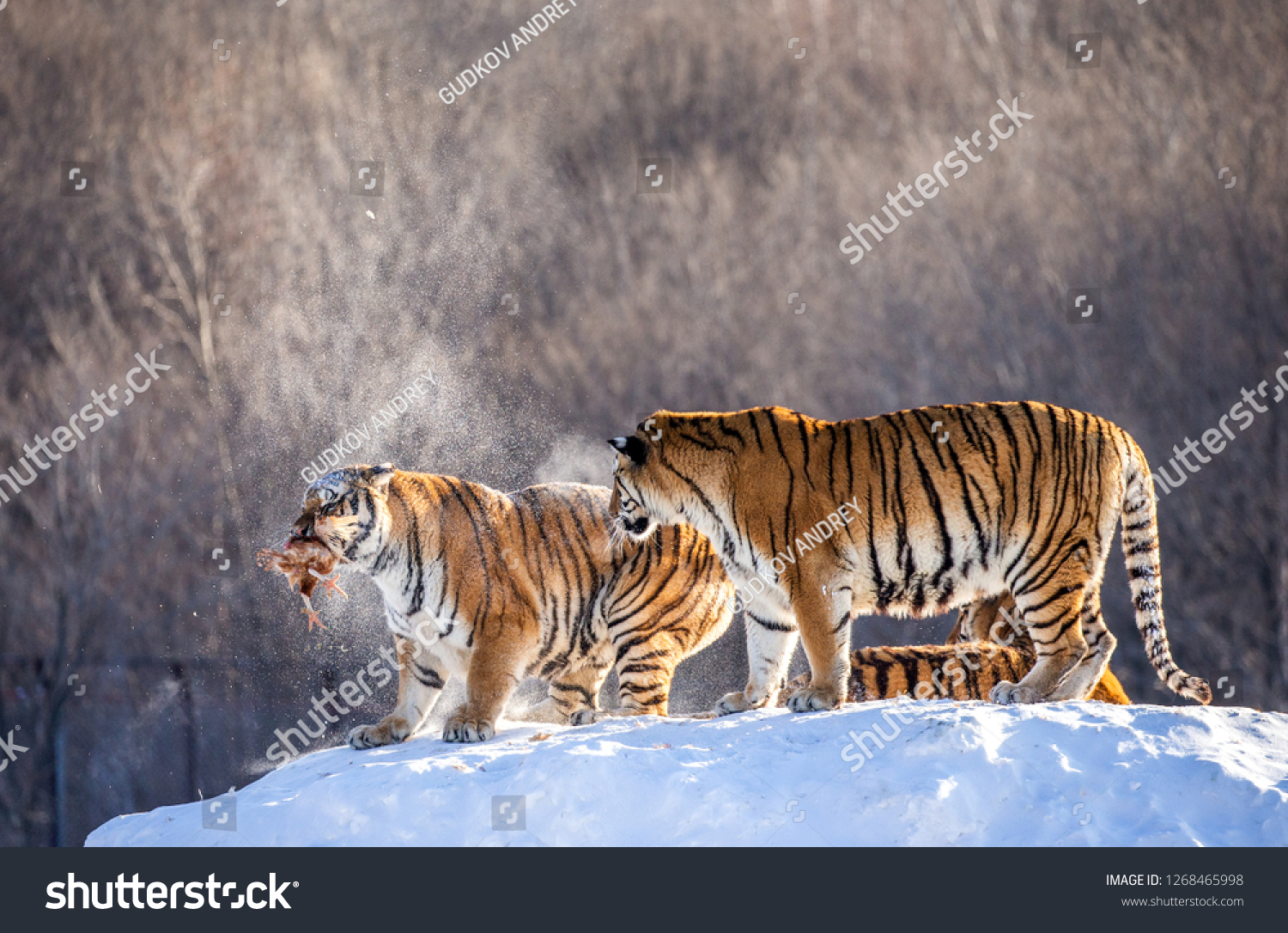 Two Siberian tigers stand on a snow-covered hill and catch prey. China. Harbin. Mudanjiang province. Hengdaohezi park. Siberian Tiger Park. Winter. Hard frost. (Panthera tgris altaica) #1268465998