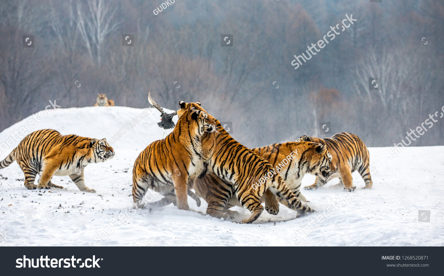 Siberian tigers in a snowy glade catch their prey. Very dynamic shot. China. Harbin. Mudanjiang province. Hengdaohezi park. Siberian Tiger Park. Winter. Hard frost. (Panthera tgris altaica) #1268520871