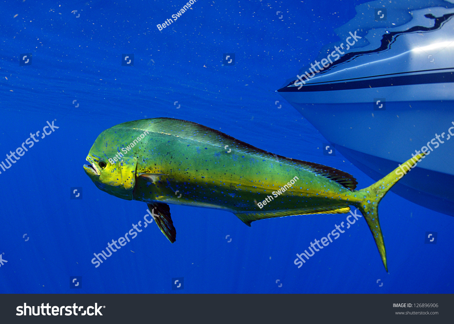 an introduction to the nature of hippurus also known as dolphin fish Mahi-mahi (coryphaena hippurus), also known as dolphinfish, have been identified as one of the most promising candidate species for development of warm-water marine finfish aquaculture due to their high growth rate, market presence, and global distribution in addition, mahi-mahi have proven to be a useful model species for physiology and.