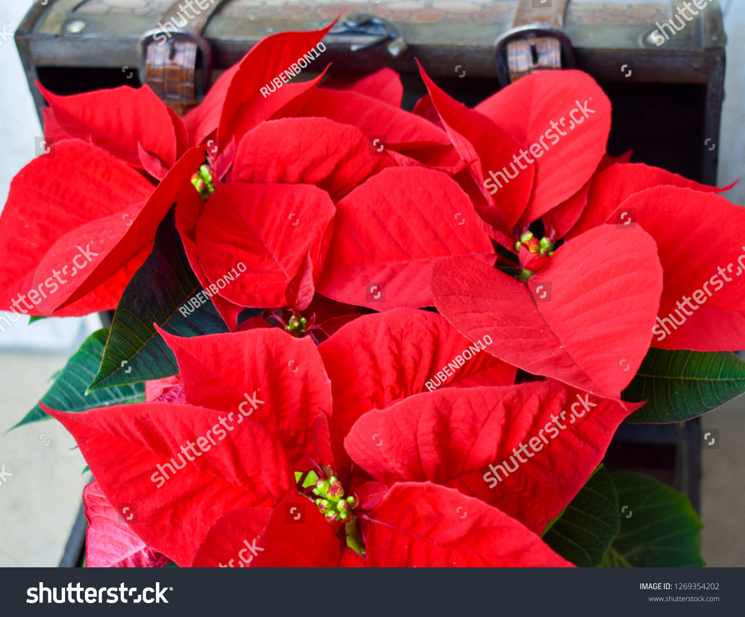 Red Green Plant Called Poinsettia Leather Stock Photo Edit Now