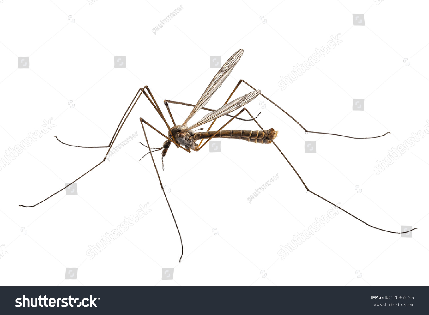 Depth Of Field Photography Definition: Cranefly Species Tipula Oleracea High Definition Stock