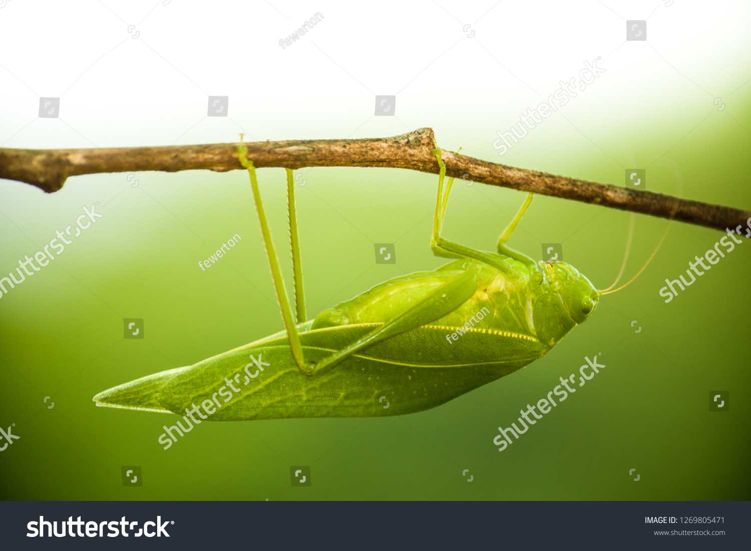 Green bush cricket, katydid or long-horned grasshopper (insect family Tettigoniidae) attached to a tree branch wooden stick macro closeup photo with light background out of focus. #1269805471