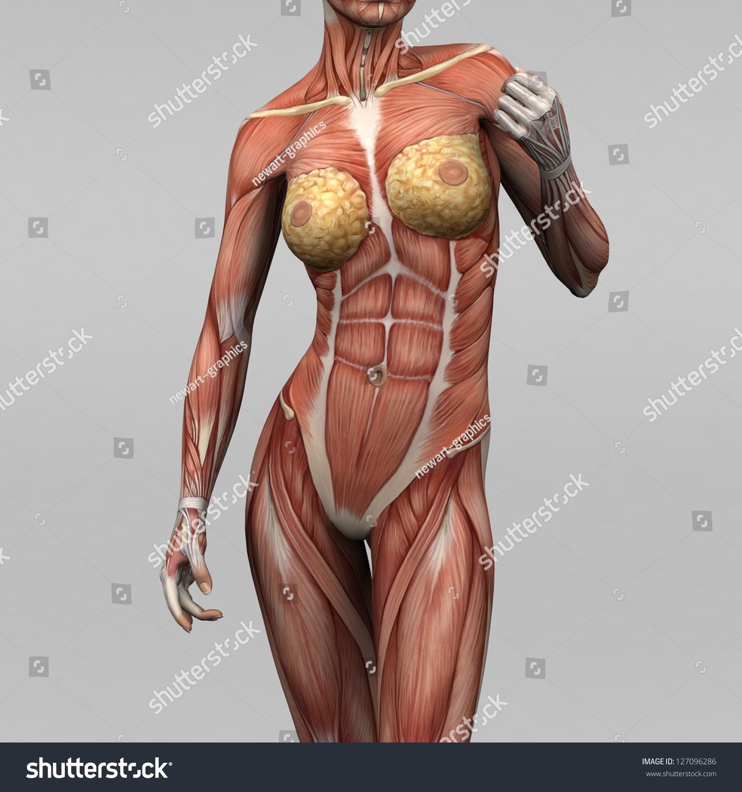 Female Human Anatomy Muscles Stockillustration 127096286 Shutterstock