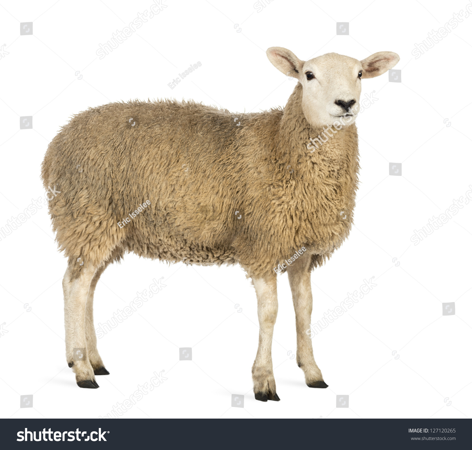 Side View Sheep Looking Away Against Stock Photo 127120265 ...