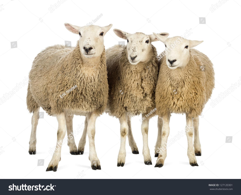 Three sheep - photo#12
