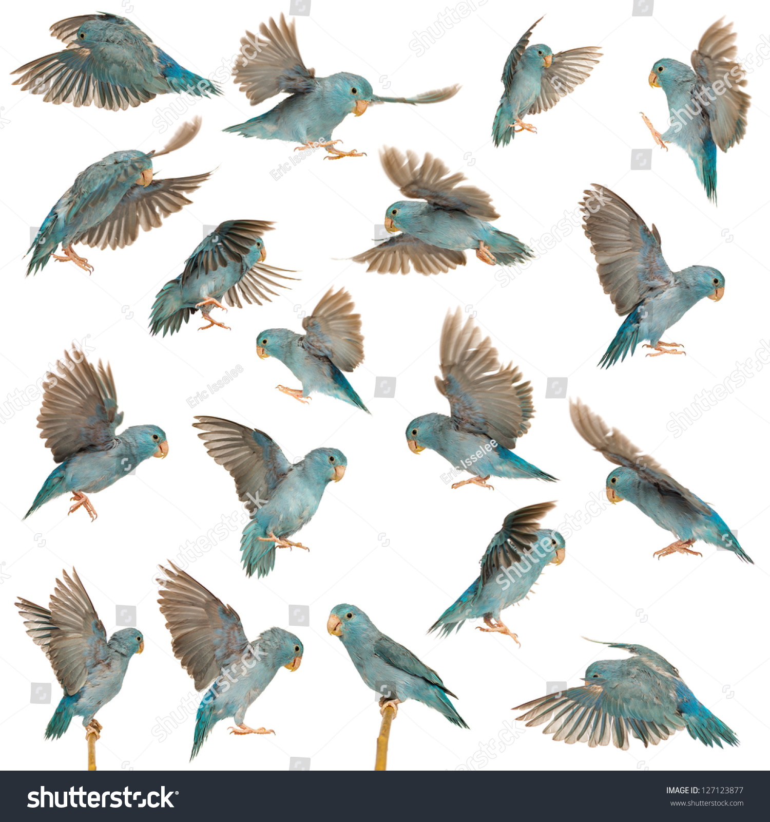 Royalty Free Composition Of Pacific Parrotlet 127123877 Stock