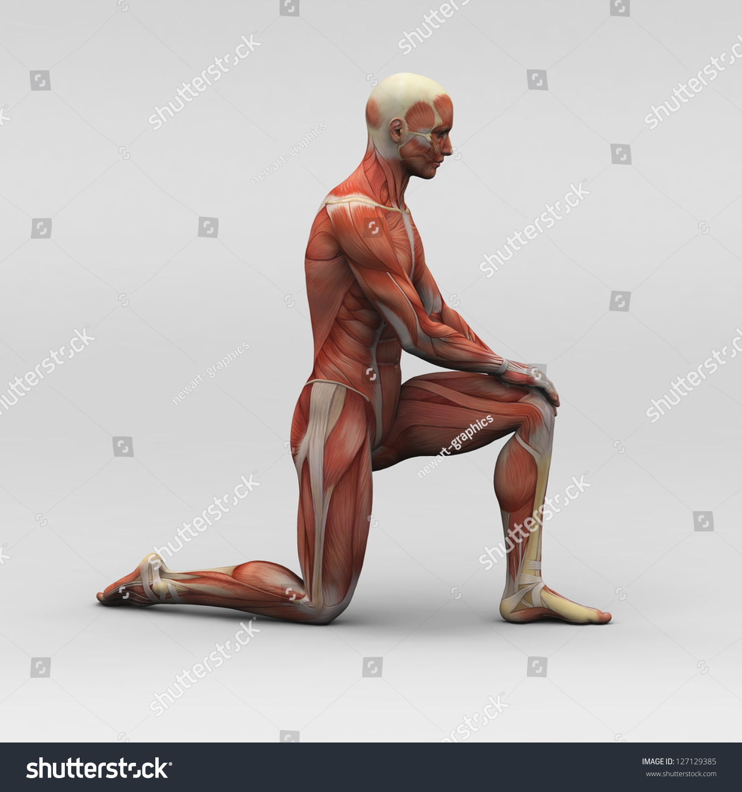 Male Human Anatomy Muscles Stock Illustration 127129385 Shutterstock