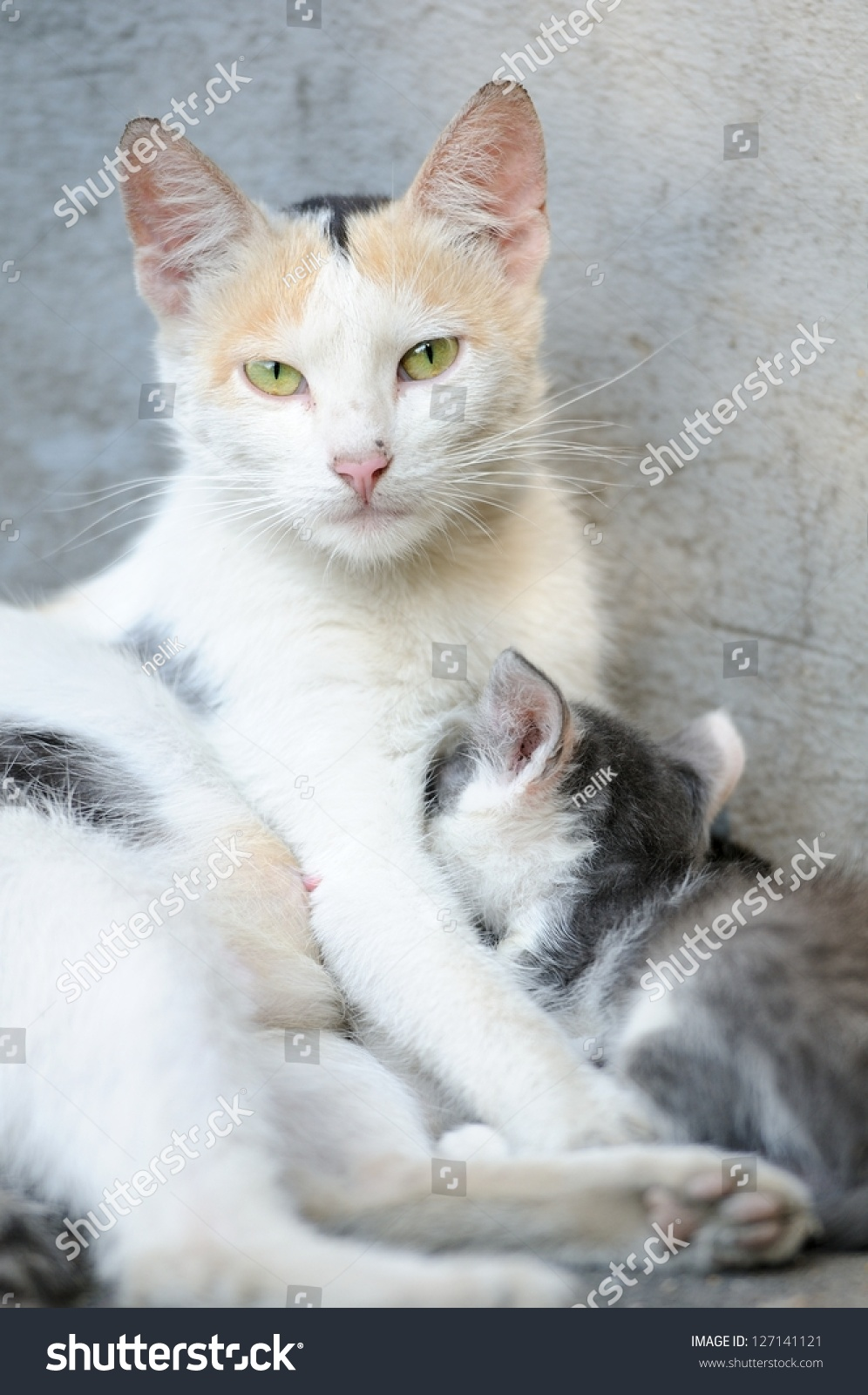 Mother Cat Newborn Baby Kitten Stock Shutterstock