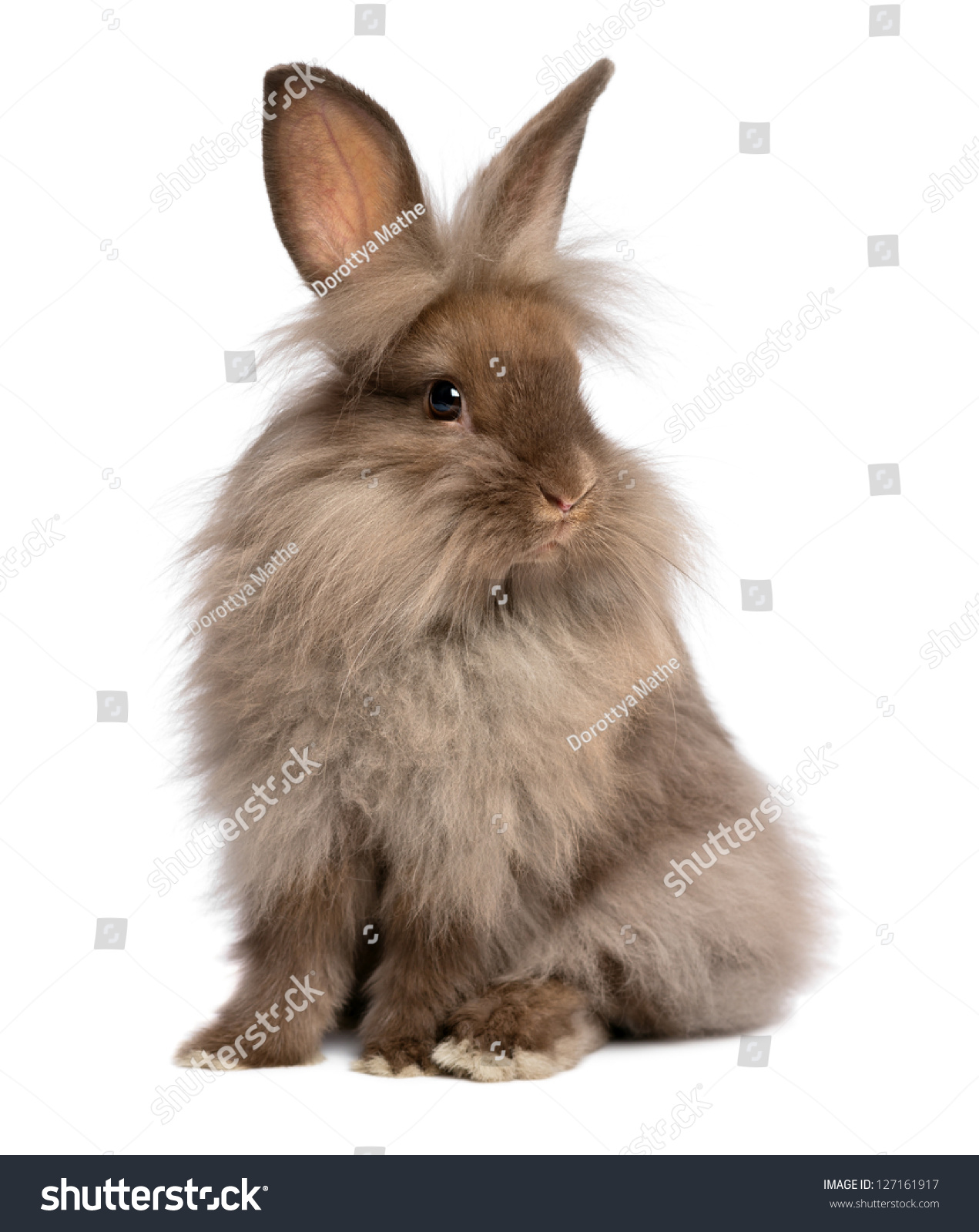 Brown and white lionhead rabbit - photo#53