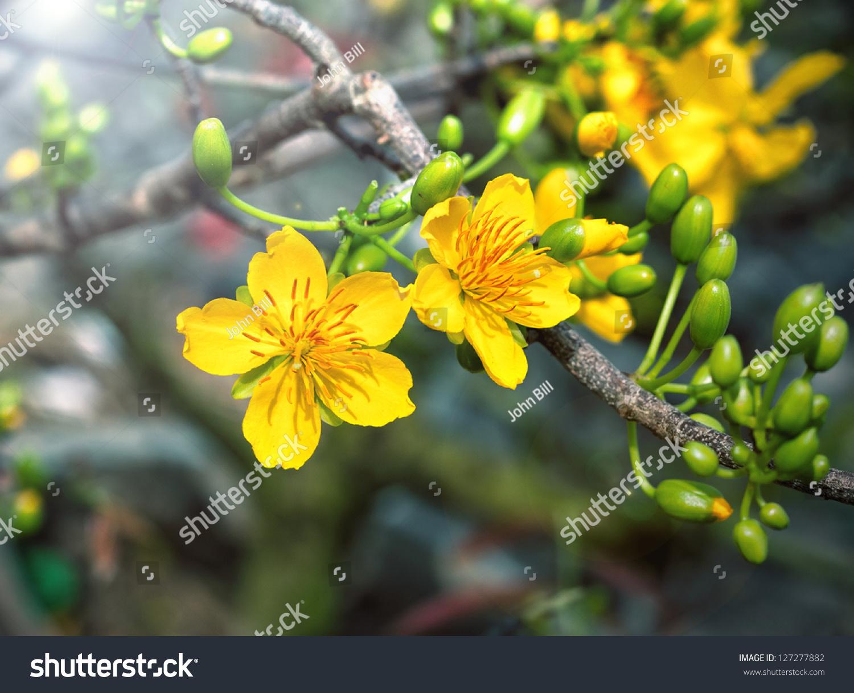 Macro A Ochna Integerrima Integerrima Branch, The Flowers ...