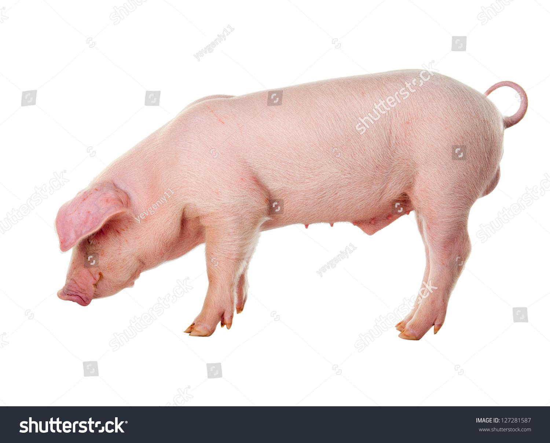 danish landrace pig breeds isolated on stock photo 127281587