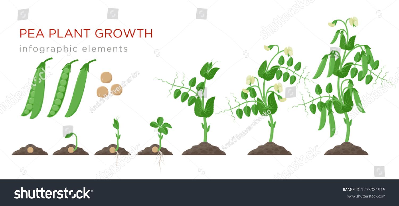 Image Vectorielle De Stock De La Croissance De La Plante De