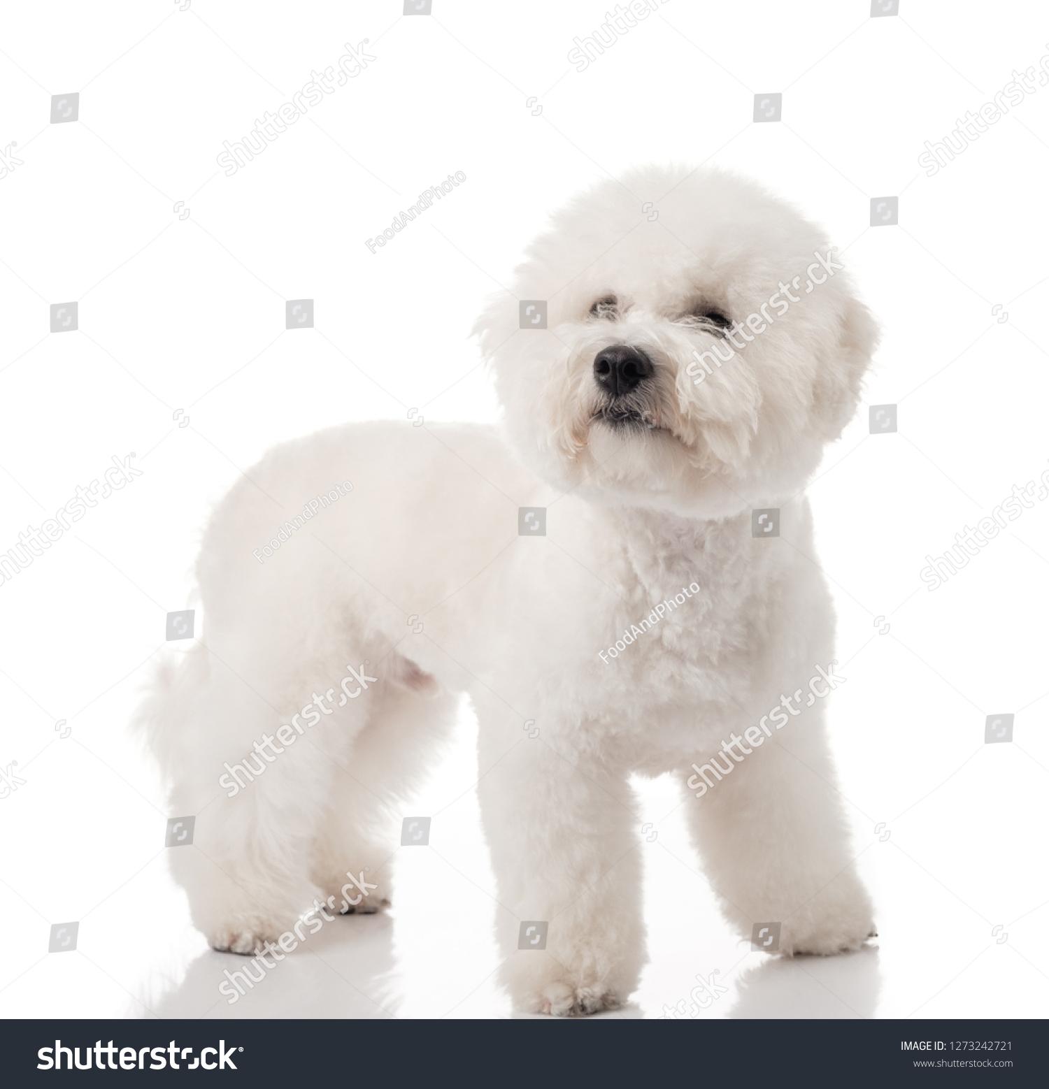 Bichon Frise Puppy Dog Isolated On Stock Photo Edit Now 1273242721