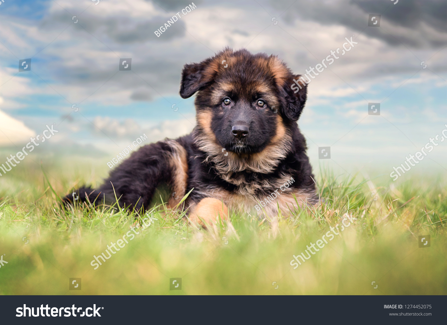 German Shepherd dog puppy  #1274452075