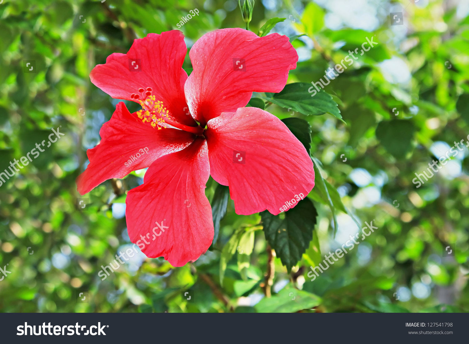 Closeup Of A Red Chinese Hibiscus Flower Ez Canvas