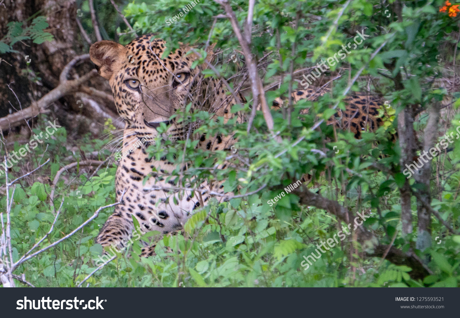 Leopard & Leopard Cubs gazing in the wild #1275593521