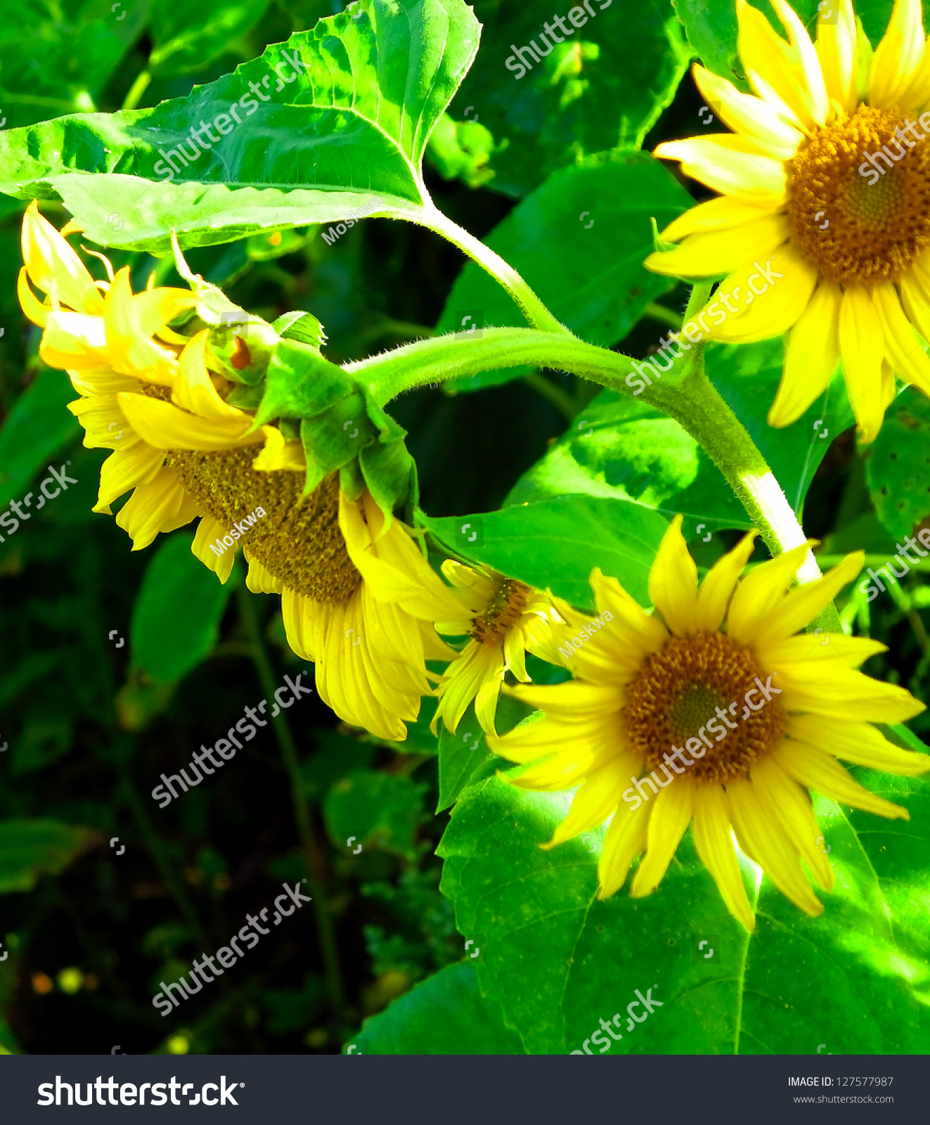 Beautiful Sunflowers In A Garden Stock Photo 127577987