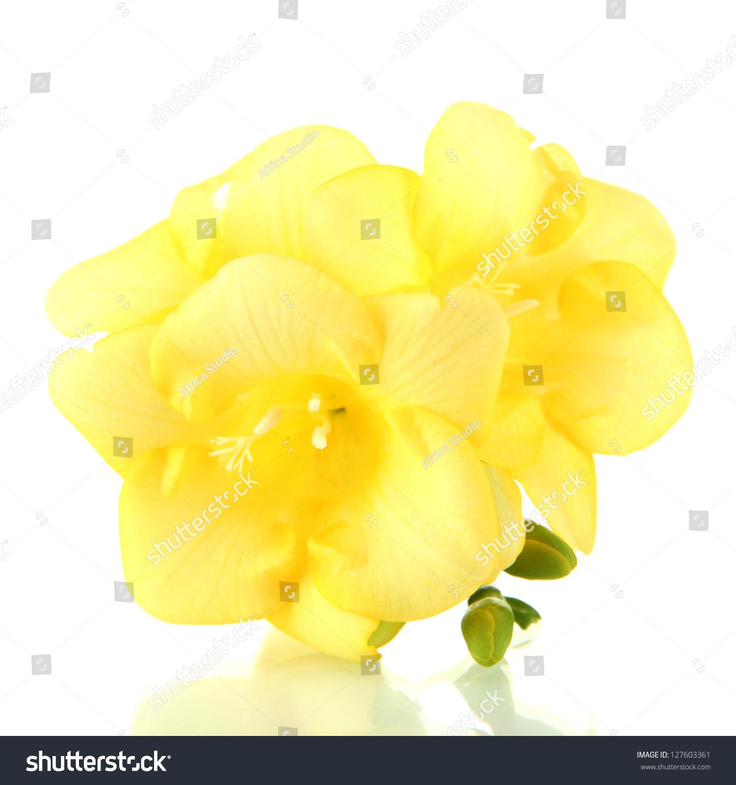 Yellow Freesia Flower Isolated On White Ez Canvas