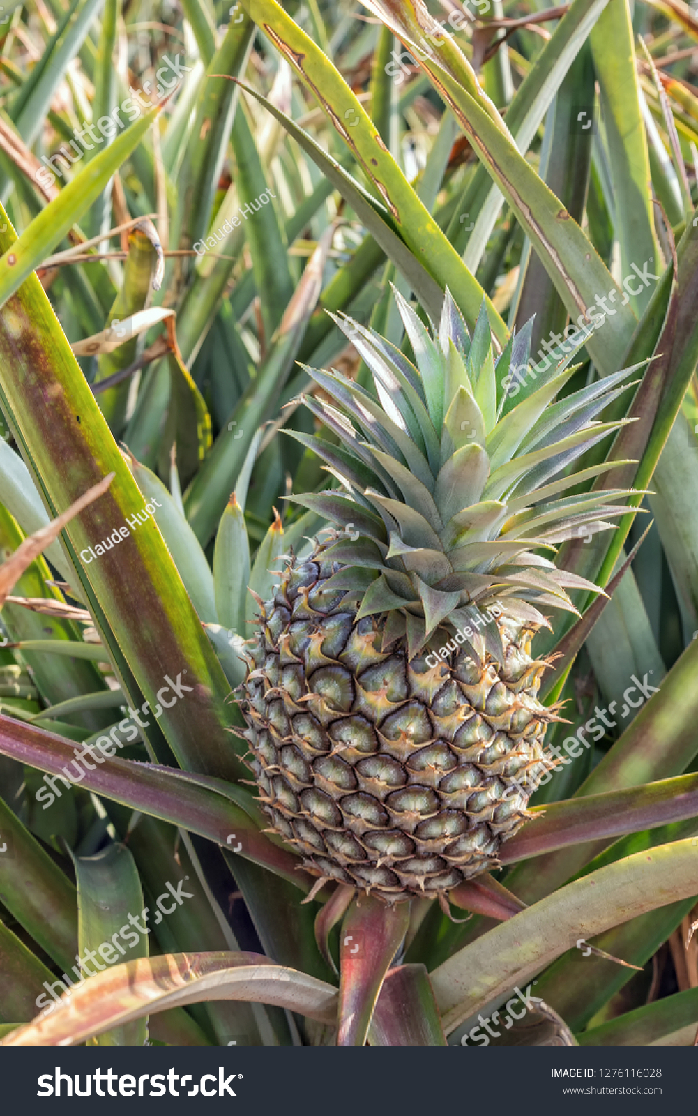 Juicy Sweet Cayenne pineapple (Ananas comosus) growing in a field on a farm in South Africa.