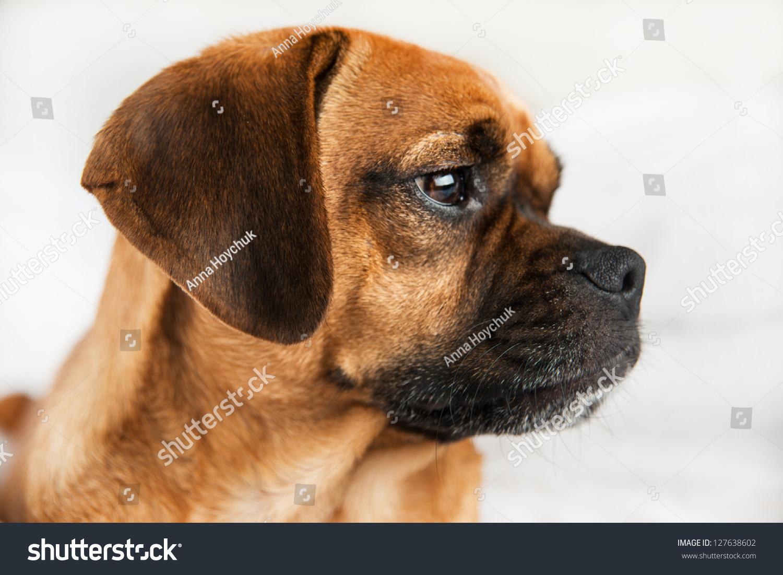 Closeup Dark Fawn Puggle Dog Laying Stock Photo 127638602