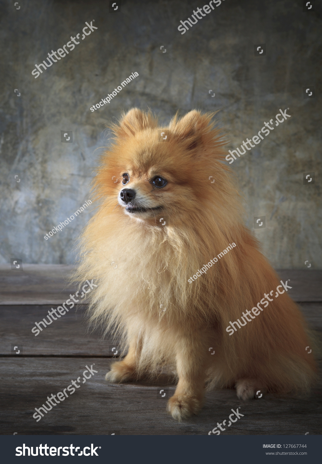 Face Pomeranian Dog Sitting On Wood Stock Photo Edit Now 127667744