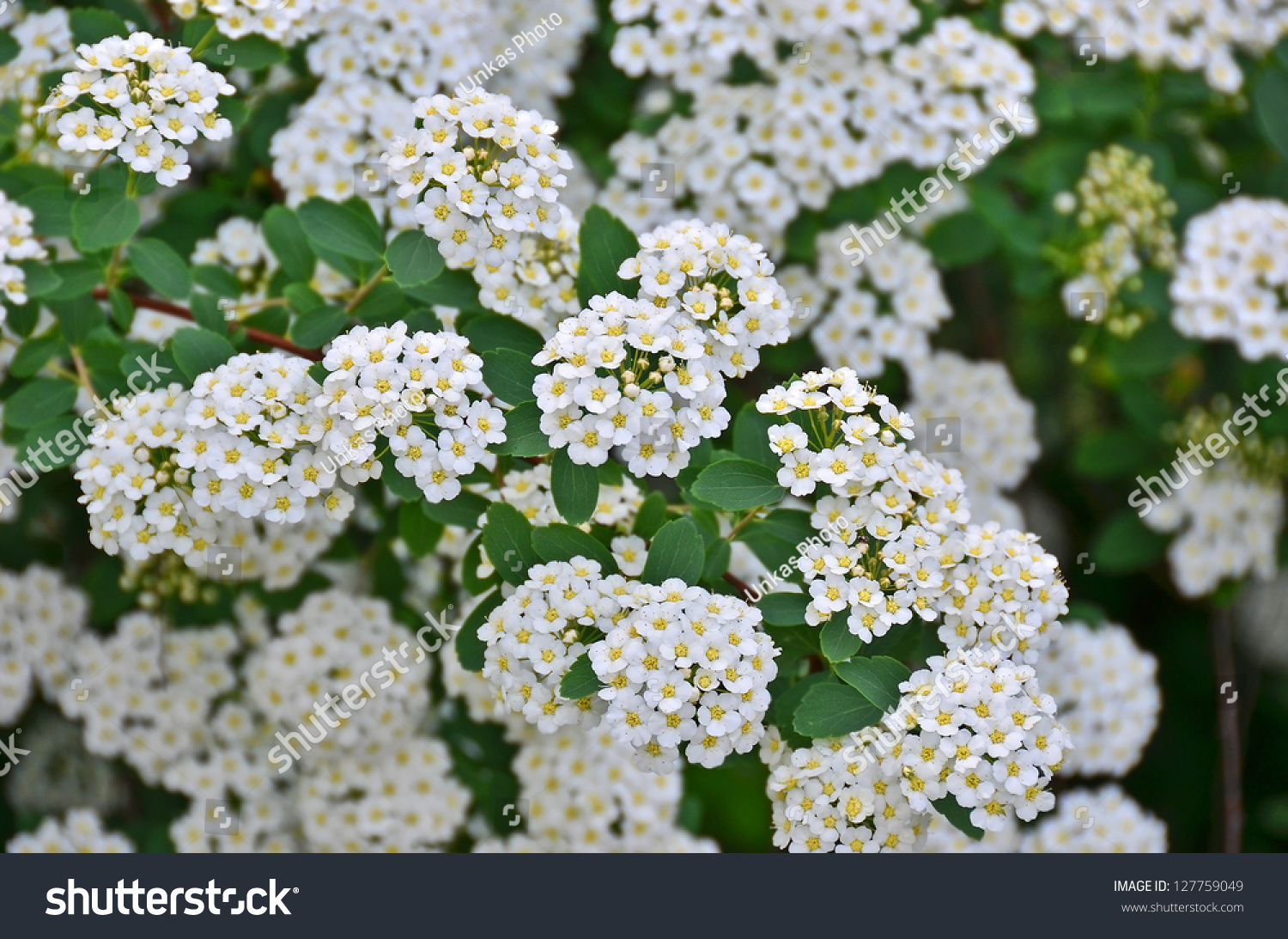 Spiraea alpine spring flower white flowering stock photo for White flowering bush