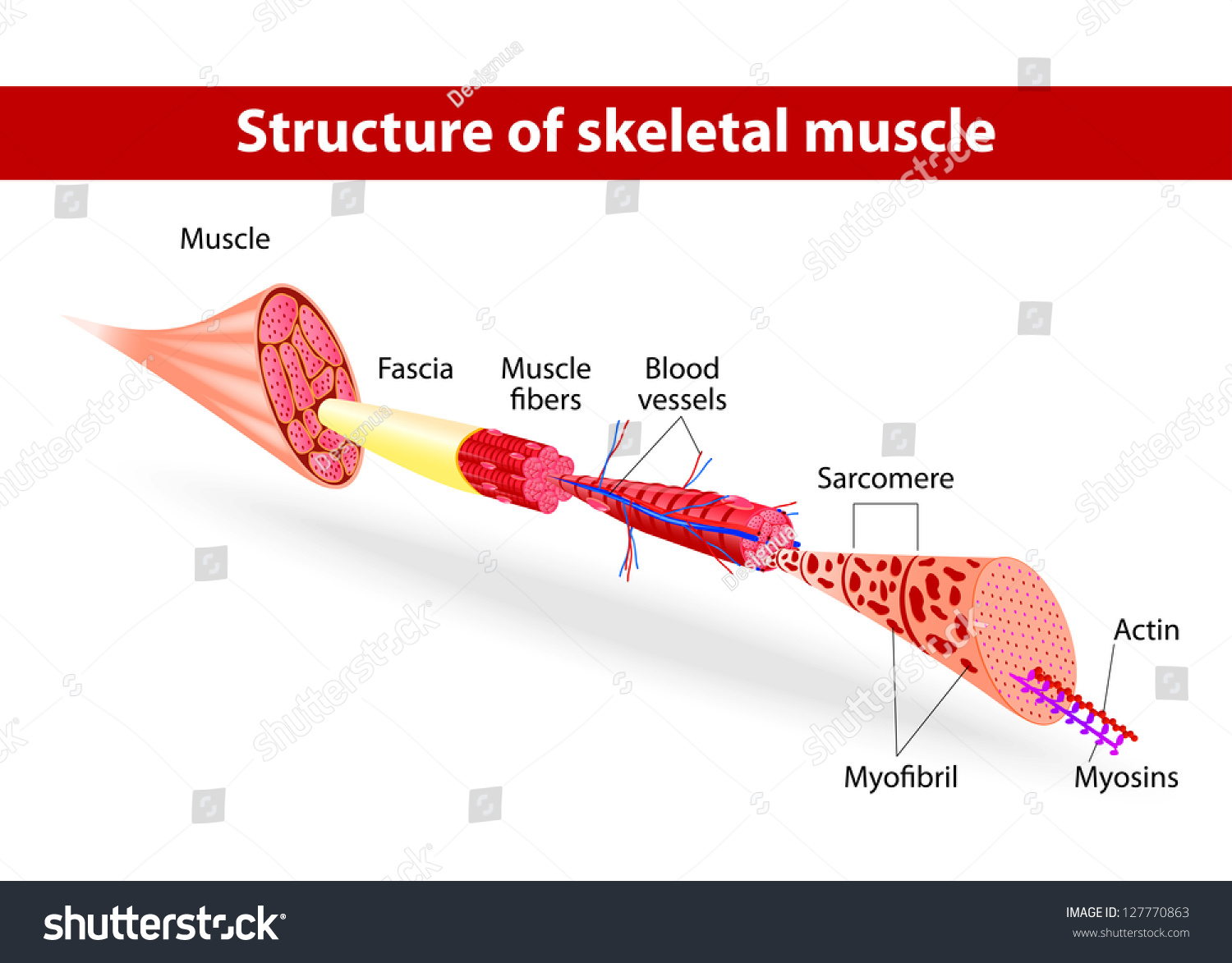 Structure Skeletal Muscle Vector Illustration Stock Vector Royalty