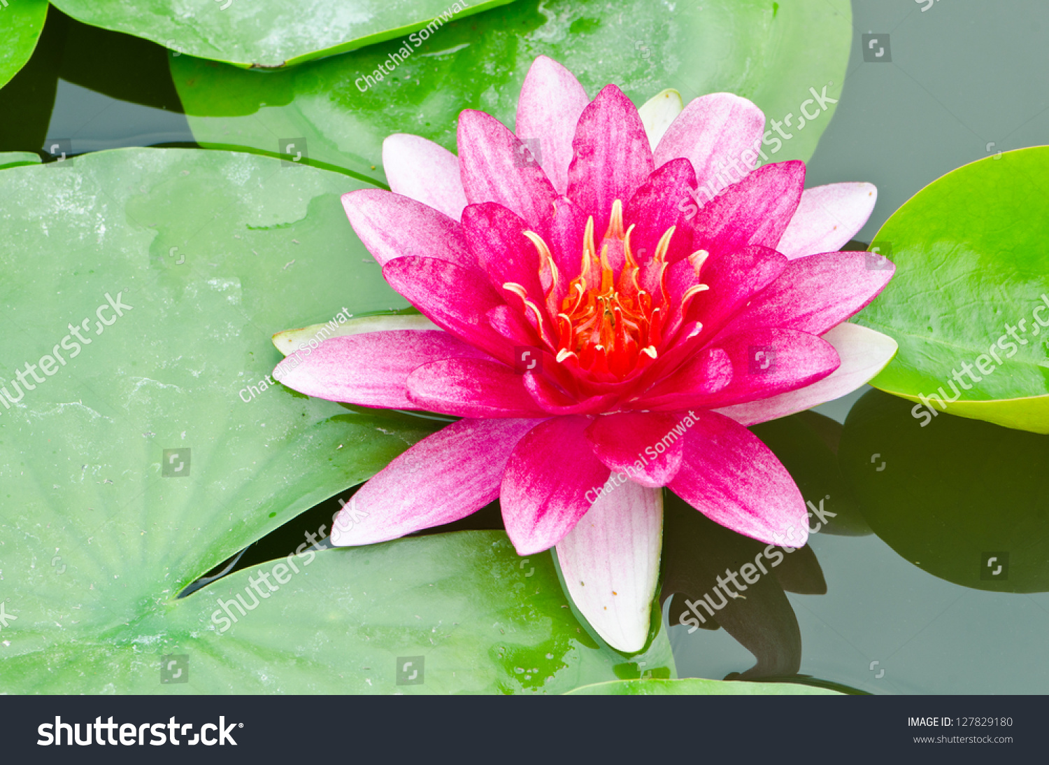 Red Lotus Flower Peaceful Pond Stock Photo 127829180 ...