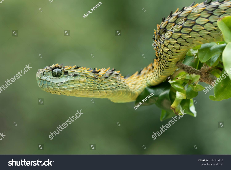Venomous Hairy Bush Viper Snake (Atheris hispida)