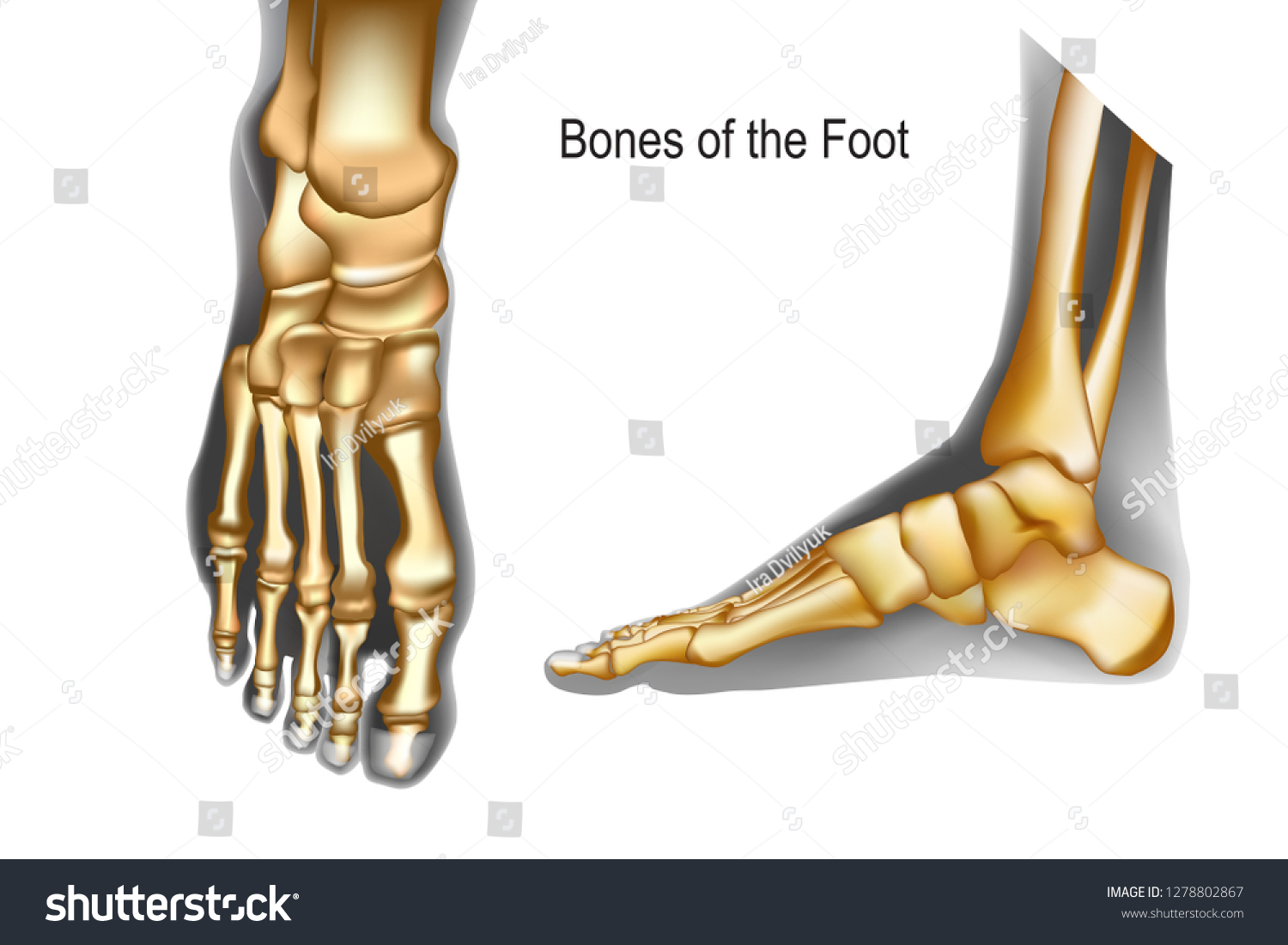 Bones Foot Top Medial View Realistic Stock Vector Royalty Free 1278802867