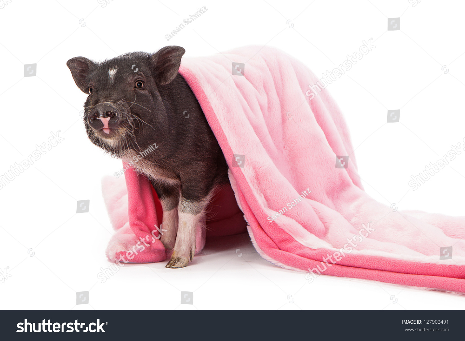 baby black pig wrapped pink plush stock photo 127902491