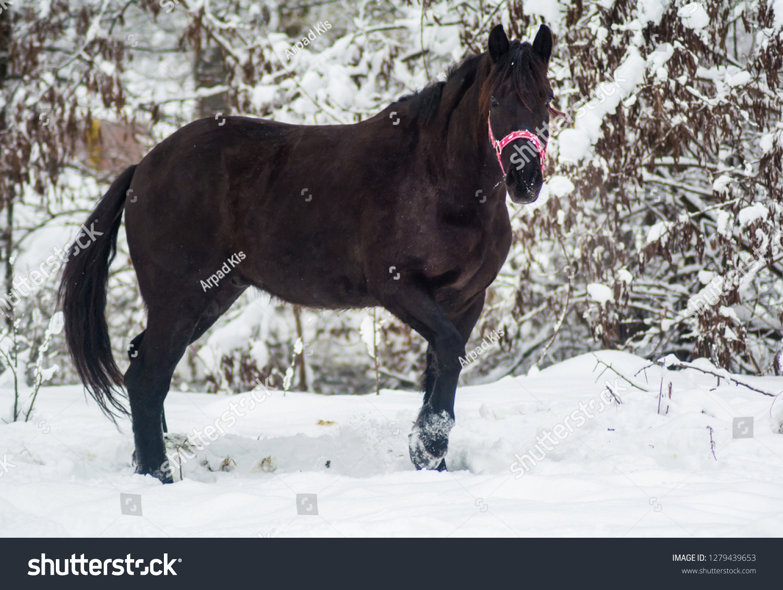 Black Beautiful Horse Winter Landscape Snow Stock Photo Edit Now 1279439653