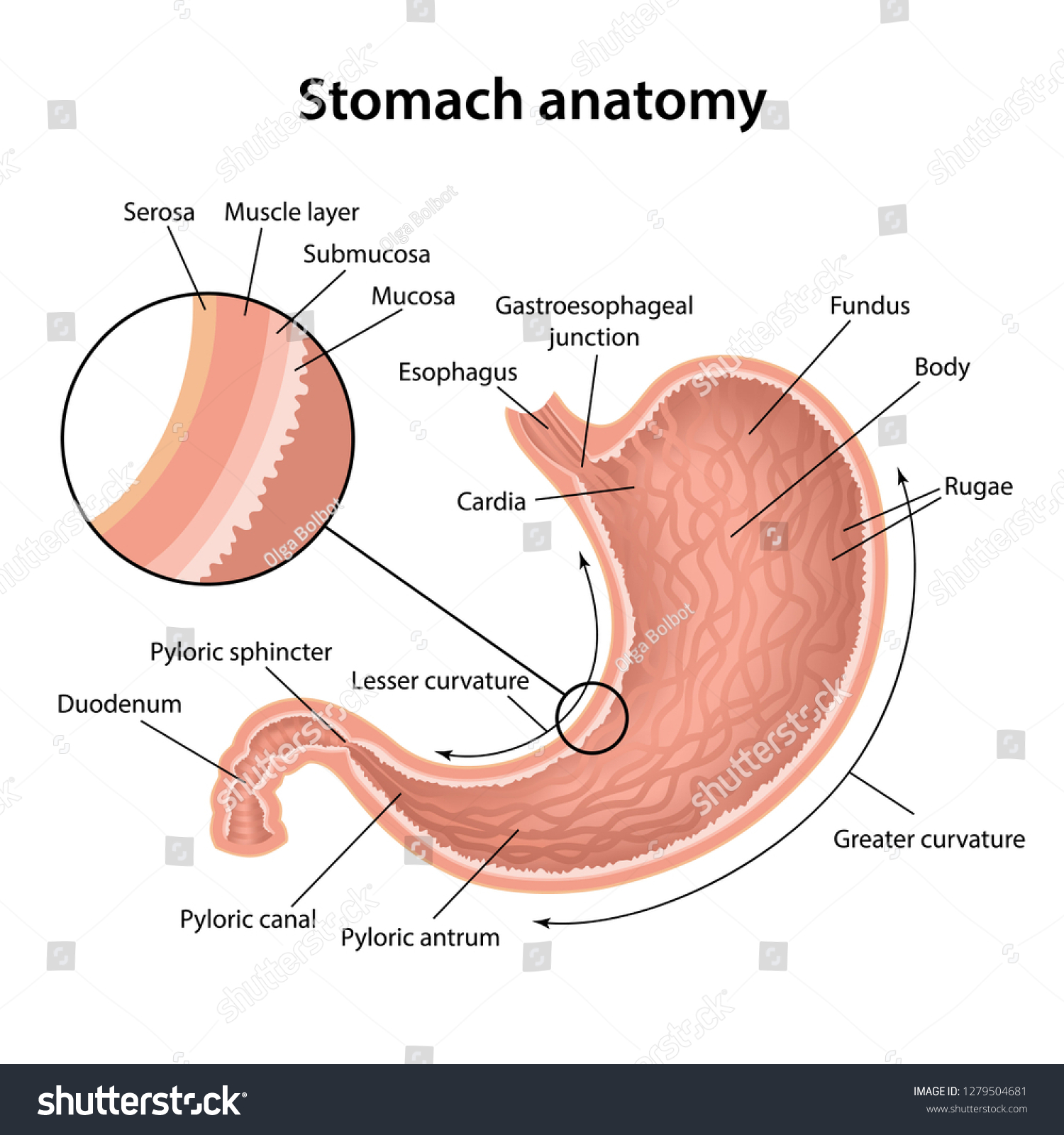 Anatomy Human Stomach His Shell Structure Stock Vektorgrafik