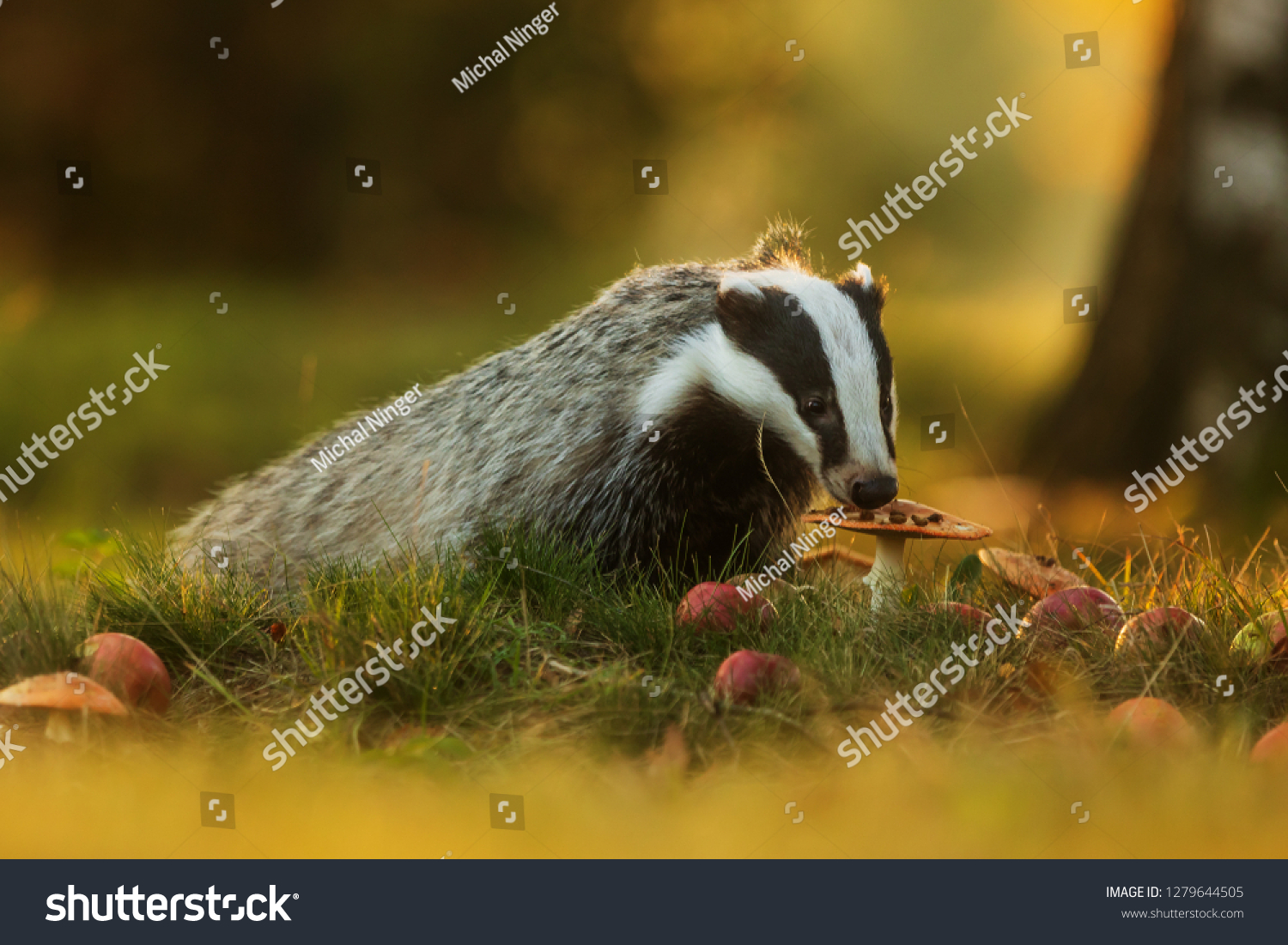 stock-photo-european-badger-meles-meles-