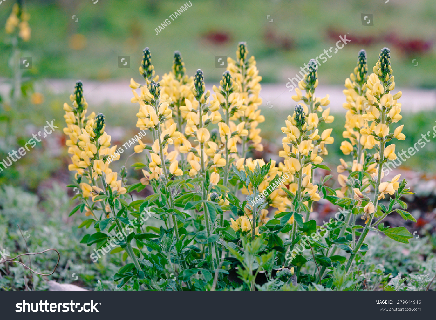 Thermopsis Images Stock Photos Vectors Shutterstock