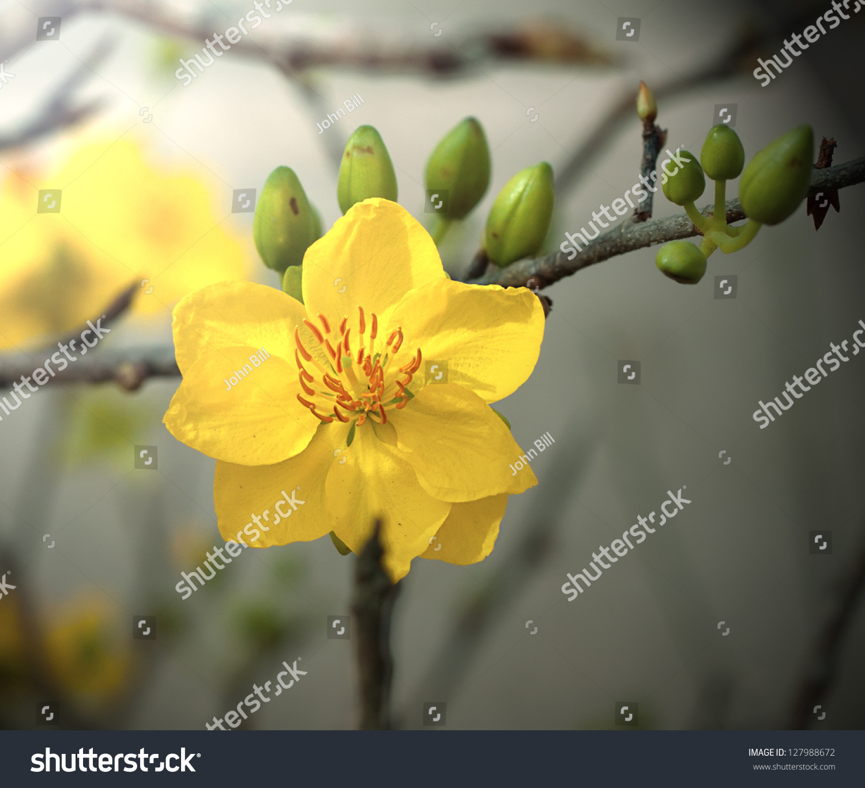 Macro Ochna Integerrima Integerrima Branch Flowers Stock ...