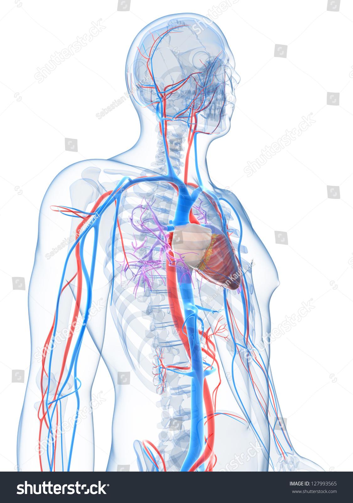 3 D Rendered Illustration Human Vascular System Stock Illustration