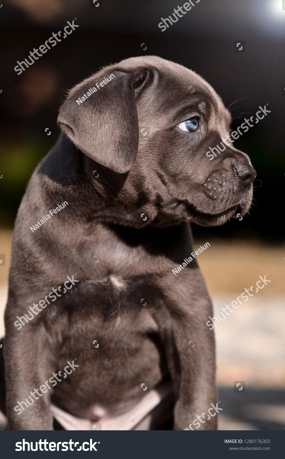 Cane Corso Puppy Blue Eyes Stock Photo Edit Now 1280176303