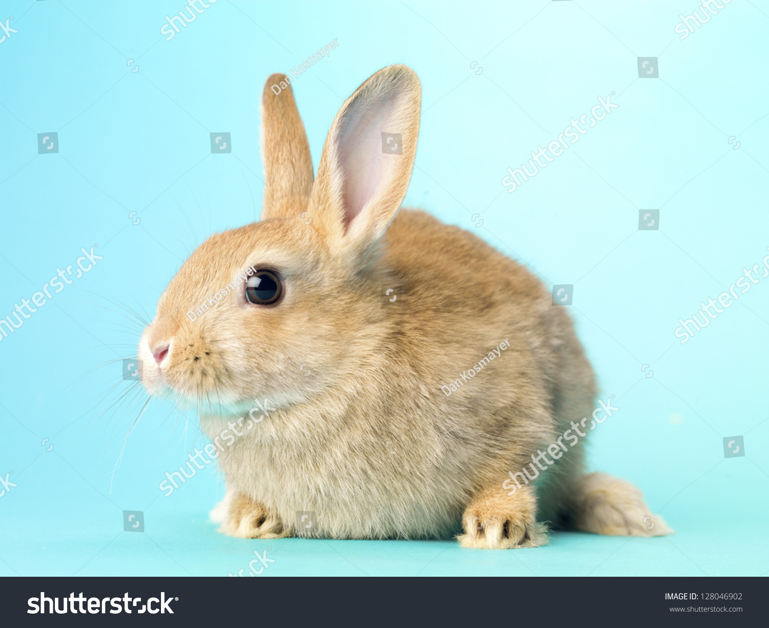 front view of a golden rabbit sitting over turquoise background stock photo 128046902. Black Bedroom Furniture Sets. Home Design Ideas