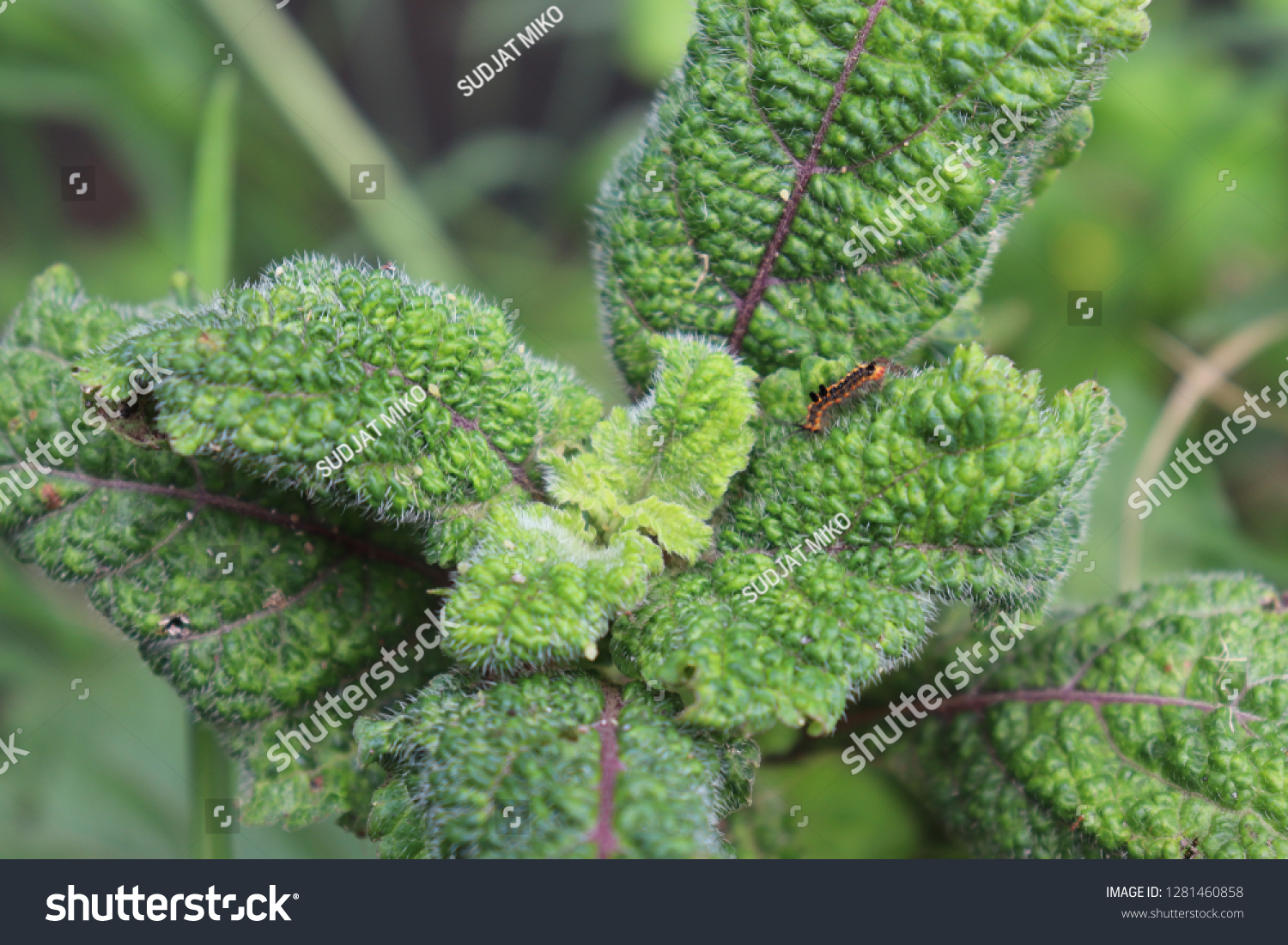 Tropical Leaves Unique Leaf Characters Furry Stock Photo Edit Now 1281460858