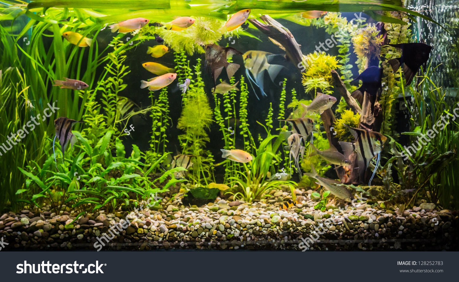 a green beautiful planted tropical freshwater aquarium with fishes stock photo 128252783. Black Bedroom Furniture Sets. Home Design Ideas