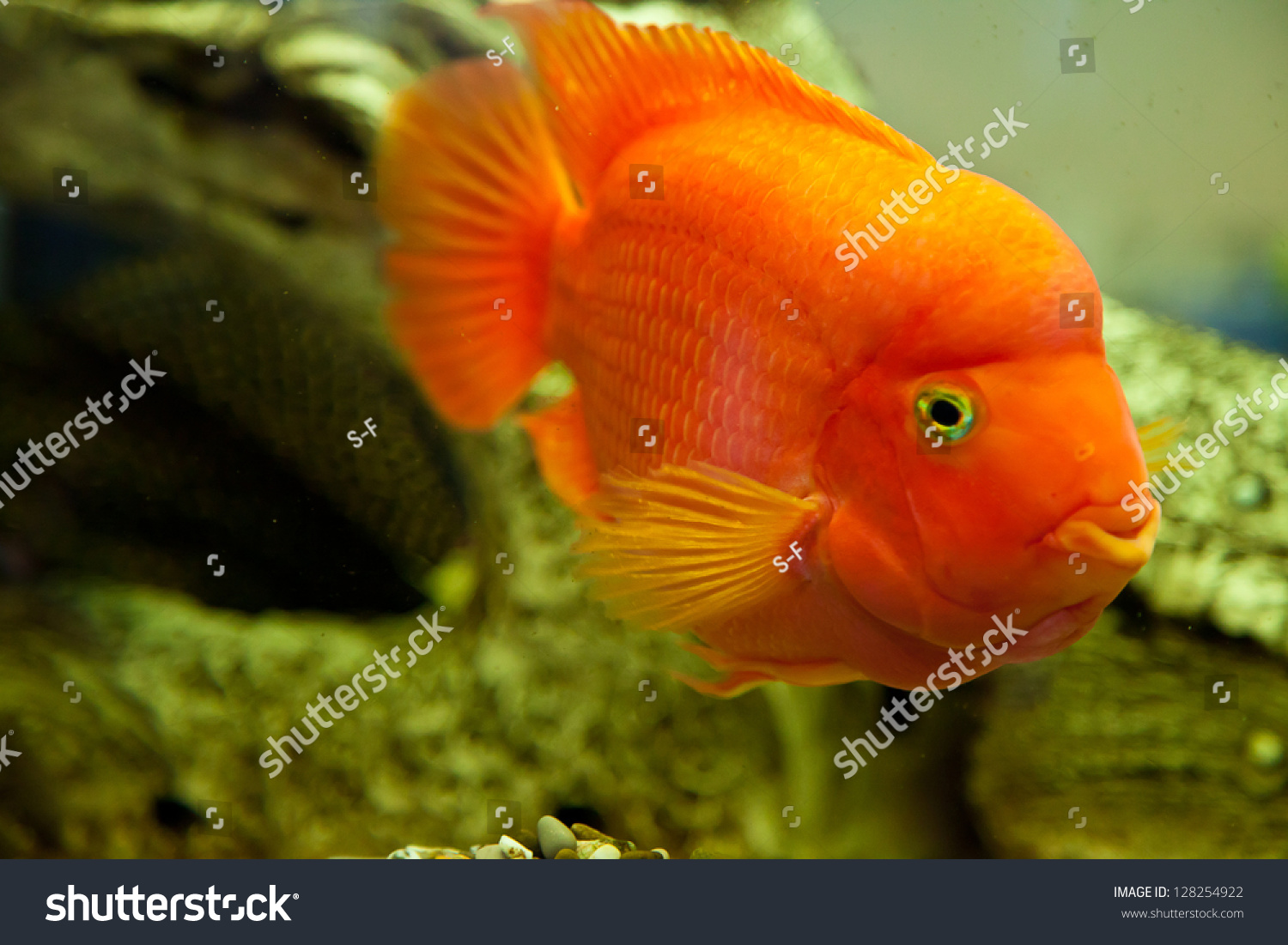 Tropical freshwater aquarium with big red fish stock photo for Big freshwater aquarium fish