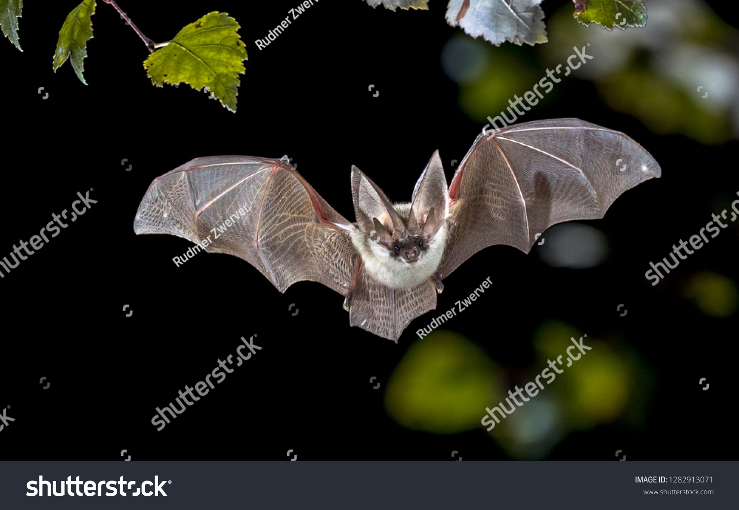 Flying bat hunting in forest. The grey long-eared bat (Plecotus austriacus) is a fairly large European bat. It has distinctive ears, long and with a distinctive fold. It hunts above woodland. #1282913071