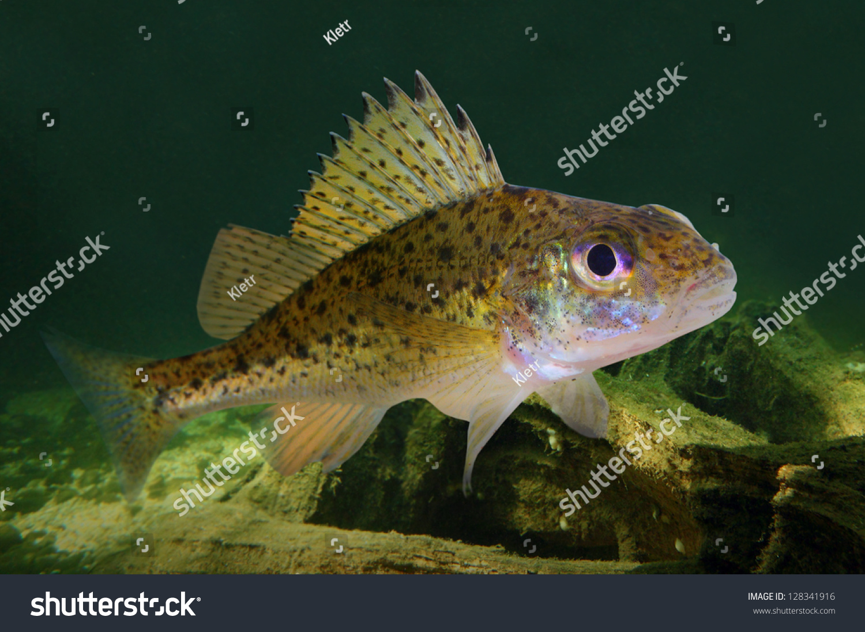 Underwater photo eurasian ruffe gymnocephalus cernuus for Predatory freshwater fish