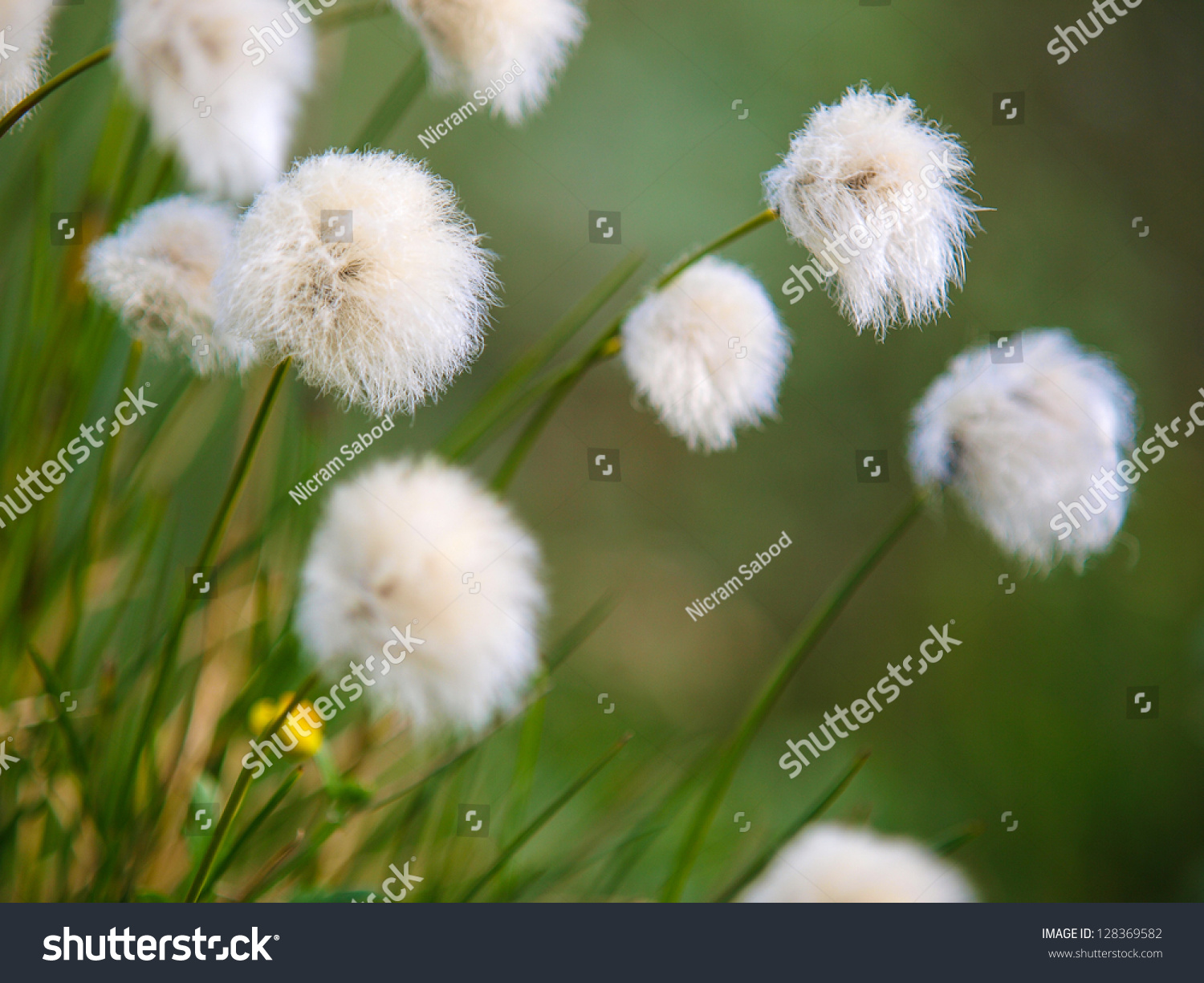 Back lighted white flowers cotton grass stock photo edit now back lighted white flowers of cotton grass on a alpine meadow flying in the wind mightylinksfo