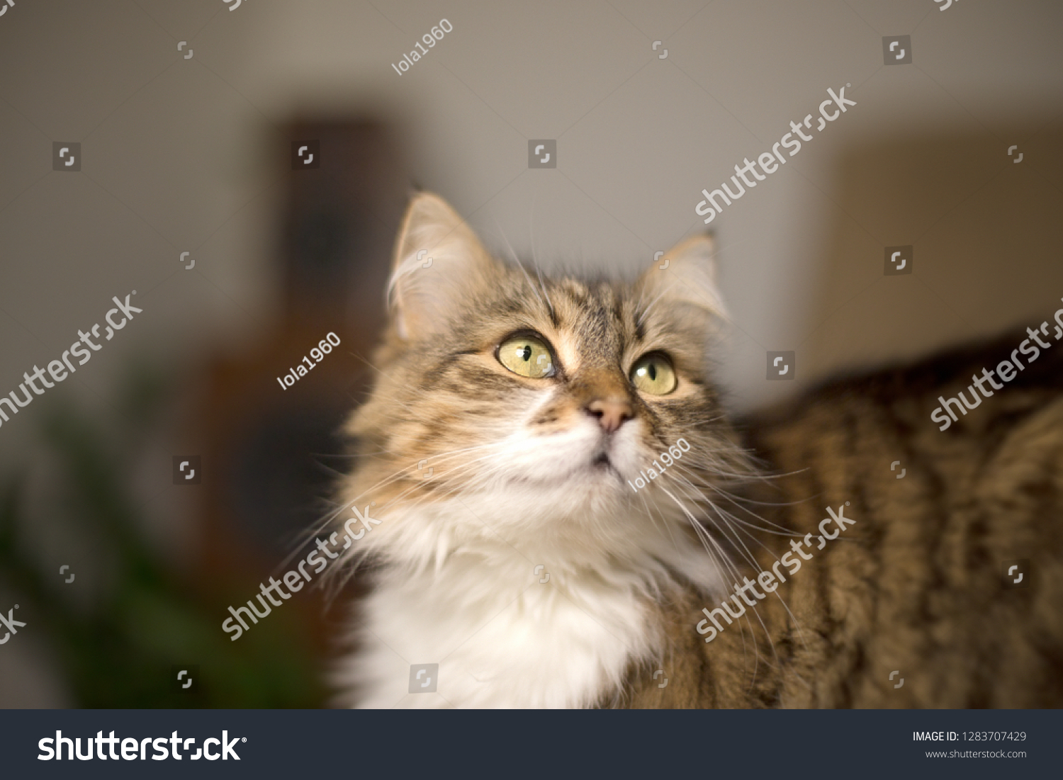 Beautiful long-haired cat looks and poses #1283707429