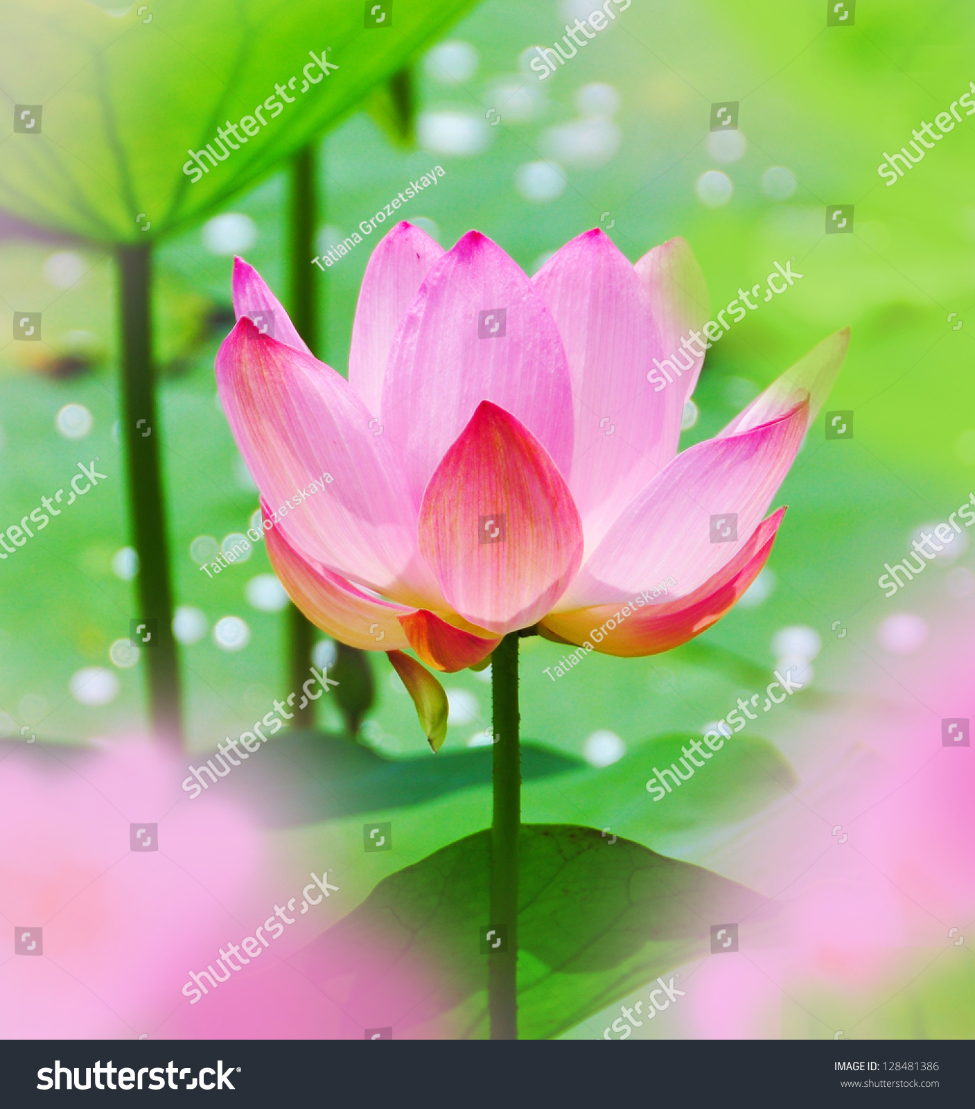 Pink Lotus Water Flower Water Lilly Stock Photo Edit Now 128481386
